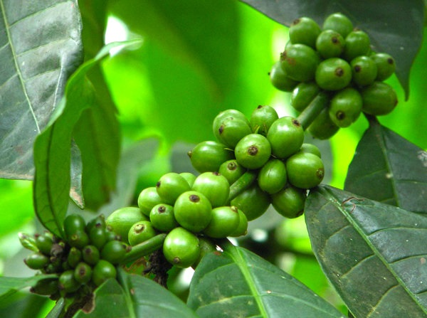 Зеленый кофе для похудения противопоказания