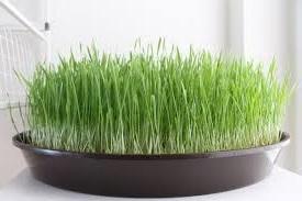 польза-пророщенного-зерна